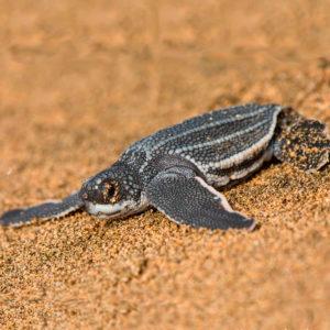 frisch geschlüpfte Lederschildkröte