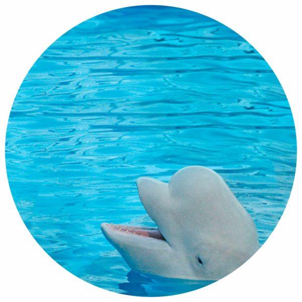 Beluga Wal im Meer